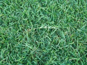 Centipede And St Augustine Lawns Choosing An Attractive