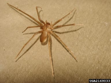 Brown Recluse Spider isn't Typically a Southerner