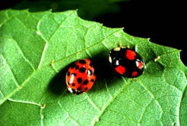 Photo credit – Asian lady beetle, W. Louis Tedders, Jr. USDA ARS SE Fruit and Tree Nut Laboratory, Byron GA and Beneficial Insectry, Oak Run, CA