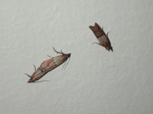 The Indianmeal moth (approximately 1/2 inch long) is the most common stored product pest found in homes, where it commonly infests cereal and other grain-based foods.