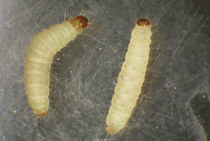 Indianmeal moth larvae (approximately 5/8 inch long and dirty-white to pink to greenish colored) often crawl away from feeding sites before they pupate.