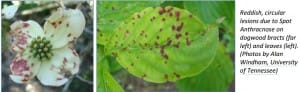 Spot anthracnose of dogwood