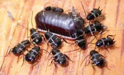 Smokybrown cockroach nymphs