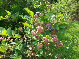 Blueberries About to Ripen