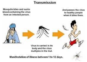 Chikungunya transmission