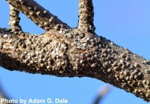 A red maple branch heavily infested with gloomy scales (identified by the small bumps covering the bark).