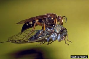 Cicada killer - Ronald F. Billings, Texas Forest Service, Bugwood.org