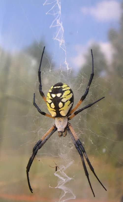 Female Golden Garden Spider, Image by Hancy Hinkle