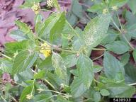 Lantana lacebug injury, Chazz Hesselein, Alabama Cooperative Extension, Bugwood.org