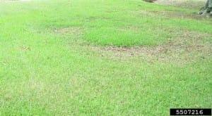 Take-all root rot -Clarissa Balibalian, Mississippi State Univ, Bugwood.org