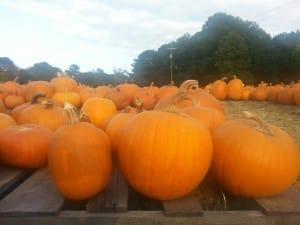 Growing Halloween Pumpkins in Georgia