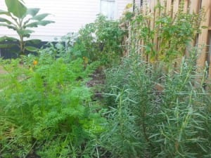 Victorian Garden Carrots
