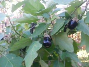 Healthy Eggplants!