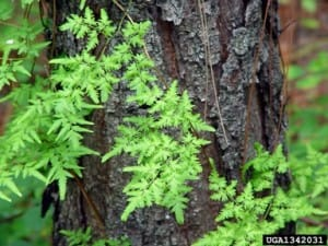 Climbing fern - Chris Evans, Illinois Wildlife Action Plan, Bugwood.org