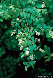 Privet - James H. Miller & Ted Bodner, Southern Weed Science Society, Bugwood.org