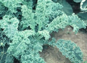 Kale plants are loose leaves and do not form heads.  Photo courtesy of Purdue University.