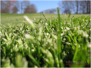 Annual bluegrass can produce seeds even when closely mowed. Image - John Kaminiski