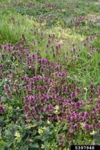 Purple Deadnettle, Robert Vidéki, Doronicum Kft. Bugwood.org