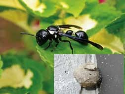 Potter wasp and nest Suiter-Ames