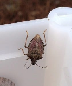Brown marmorated stink bug, image by Brian Little.