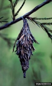 Bagworms: What are these things hanging in my trees?