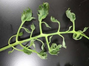 Herbicide Damage in the Georgia Community or School Garden