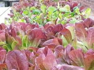Growing leaf lettuce