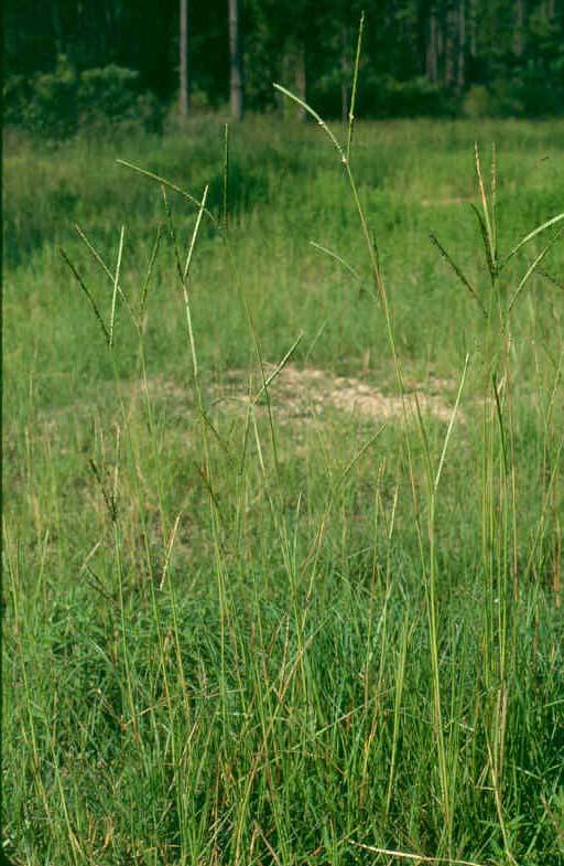 0211bahiagrass