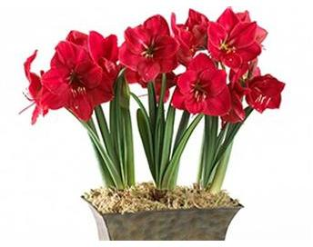 2605-red-amaryllis-planter-L