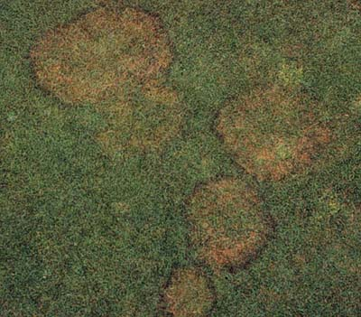 Brown Patch symptoms in turf