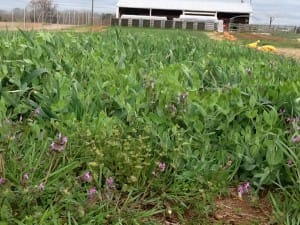 Using Cover Crops in Your Georgia Community Garden