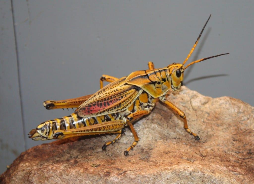 Eastern_Lubber_Grasshopper_012
