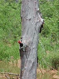 Woodpecker on Snag