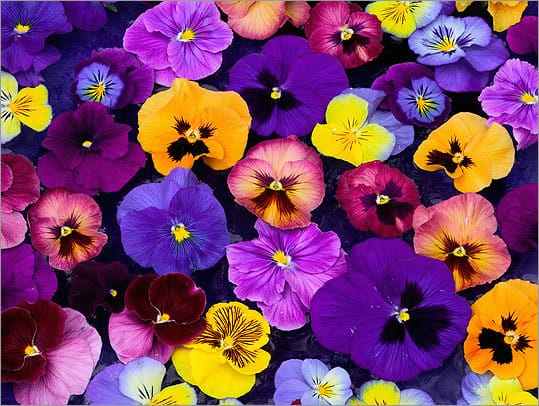 Growing Pansies: A Colorful Display for Fall, Winter, and Spring