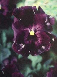 Gray Mold or Botrytis on Pansies