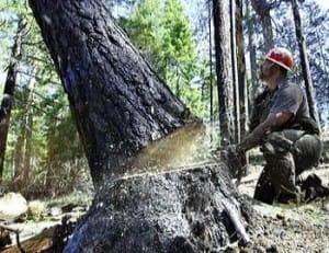 tree-felling-in-marin-county