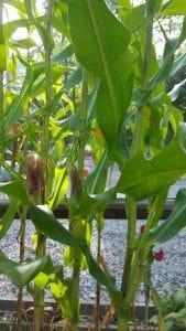 Corn at a Park Pride CG