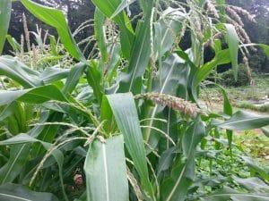 Corn tassling