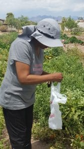 Vegas Roots volunteer, Betty, is justifiably proud of the garden.