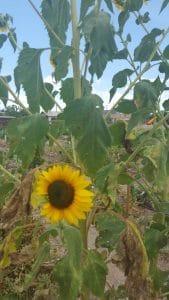 Sunflowers help attract native pollinators.