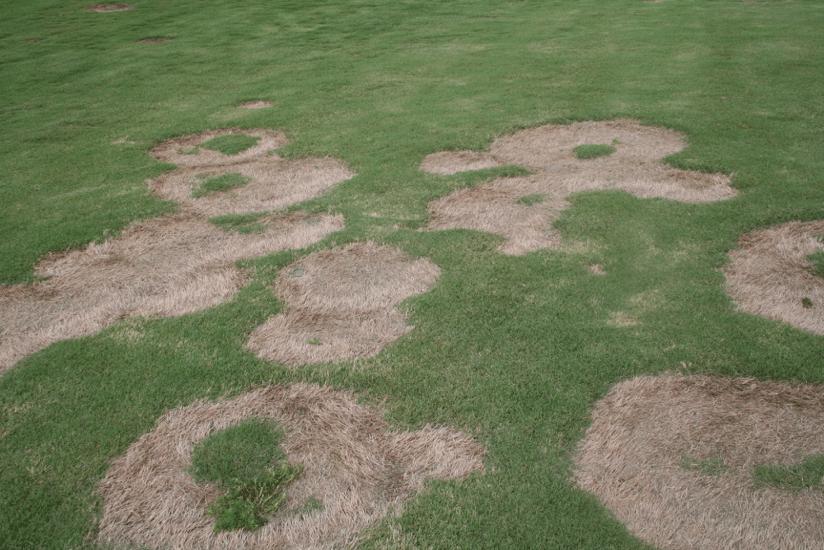 photo of turfgrass disease spring dead spot