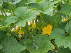 Squash plant